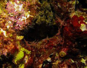 PADI Night Diver: shrimps